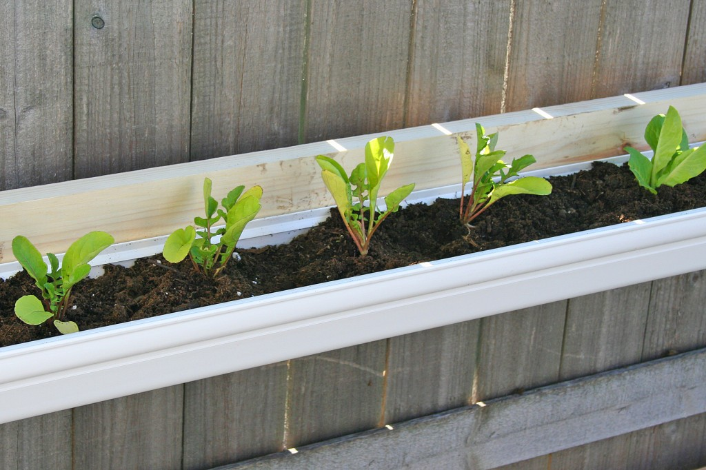 Arugula planted in vinyl gutters used as planters