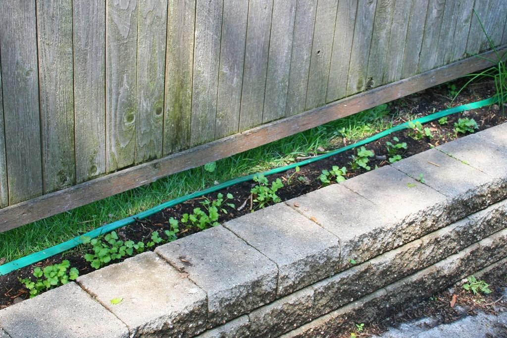 Baby cilantro plants